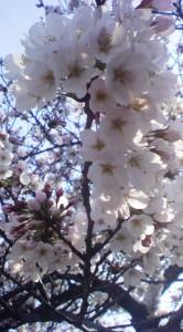 柏尾川桜1