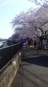 柏尾川桜2